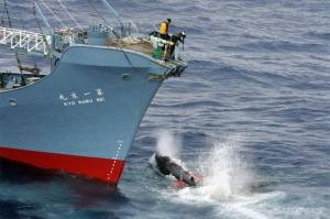 Minke whale gets shot by a rifle, by the crew of the Kyo Maru No. 1, after being harpooned but still living and thrashing in the water. Southern Ocean. 05.01.2006